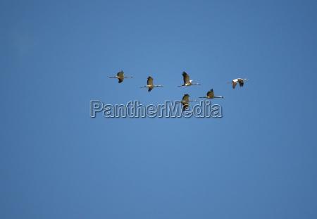 cranes fly