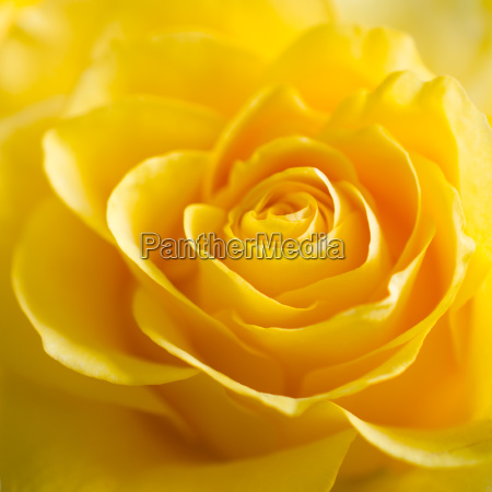 the texture of beautiful yellow rose
