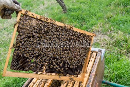 open hive beekeeping