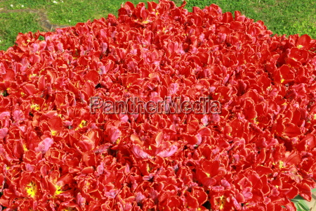 red tulips in flower bed with