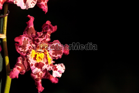 pink spotted cattleya orchid flower morph