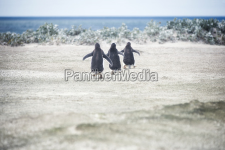 gentoo penguins going for a swim