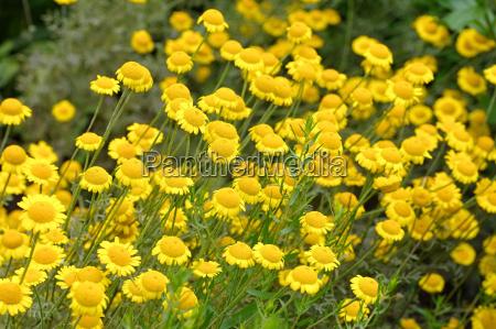 dairy dog chamomile a wild plant