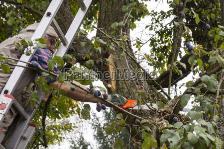 pensioners prune an old plum tree