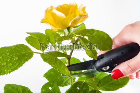 cutting a yellow rose with averruncator