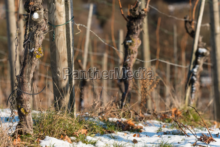 vineyard with old vines in winter