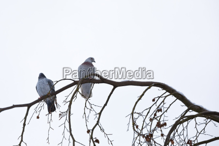 pigeons sitting on the branch in