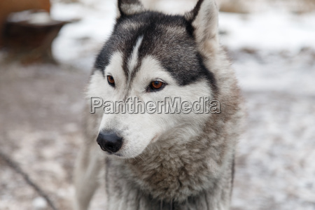 husky dog in the yard of