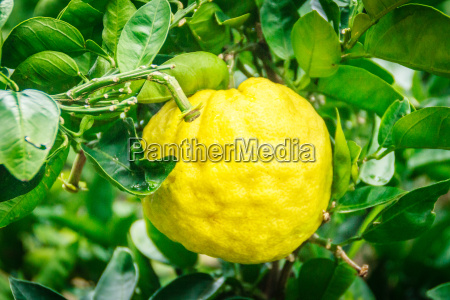 tangerine orange farm in jeju island