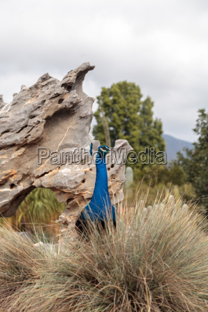 blue and green male peacock pavo
