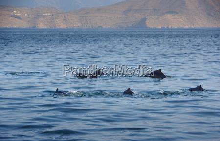 khasab oman delphin familie
