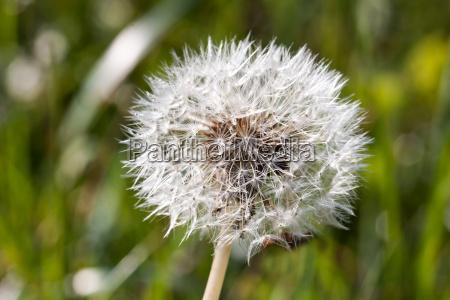 a close up of a dandelion