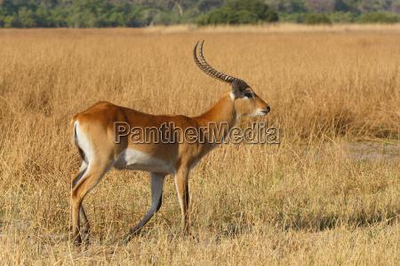 southern lechwe in okavango botswana africa