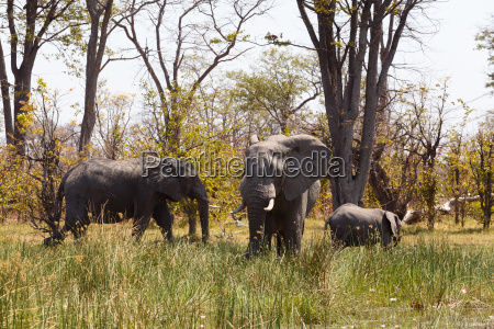 african elephant moremi game reserve okavango