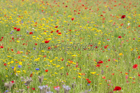 wildflower meadow in summer