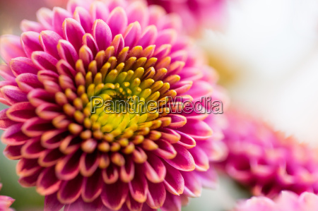 close up of beautiful pink chrysanthemum