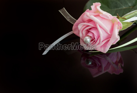 a pink beauty pink rose