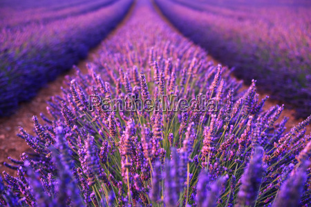 lavender, field, in, the, summer - 20156571