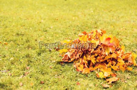 heap, of, fallen, maple, leaves, on - 20172847