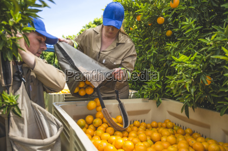farm workers on plantation plucking oranges