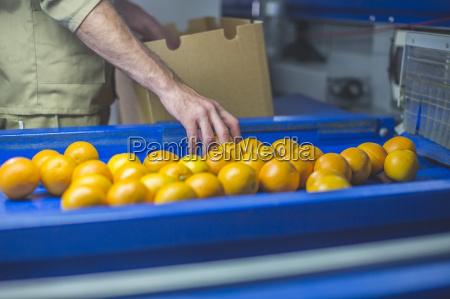 worker on orange farm picking oranges