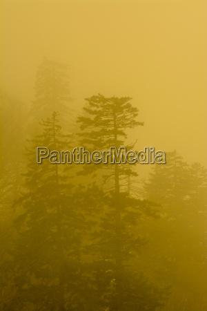 foggy trees near newfound gap great