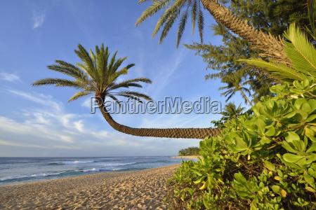 usa hawaii oahu palm trees on