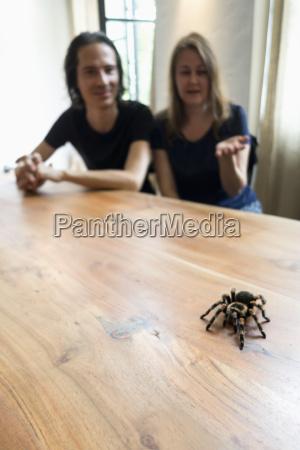 mexican tarantula on table man and