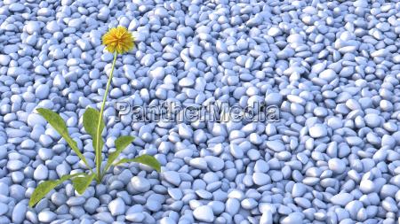 dandelion growing on rubble