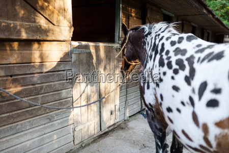 horse tied in front of stable