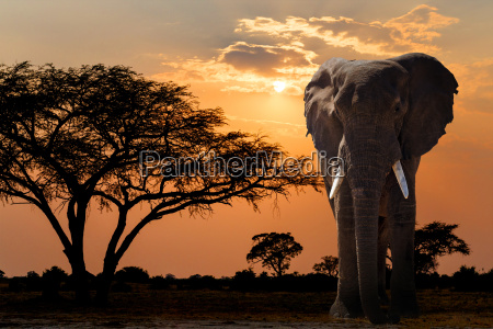 africa sunset over acacia tree and