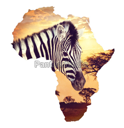 zebra portrait on african sunset with
