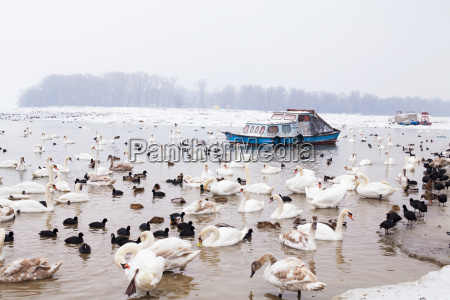 swans family winter season