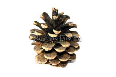 pictures of pine cones