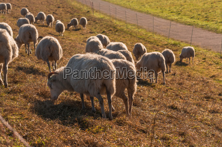flock of sheep on a dyke