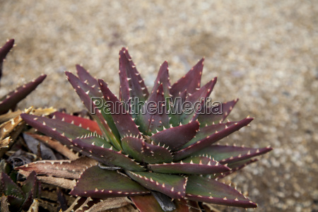 red and green spiny aloe brevifolia