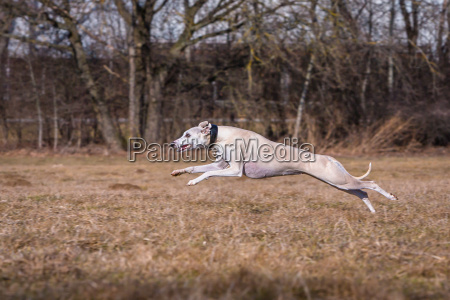 whippet greyhound