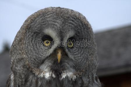 bearded owl