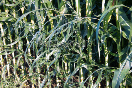 corn plants with hail damage in