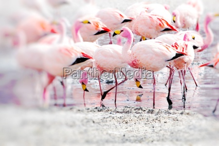 flamingos on lake in andes the