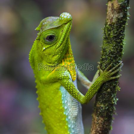 green chameleon at tree branch in