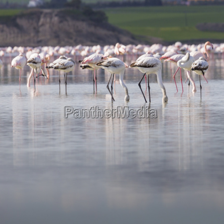 african flamingos in the lake over