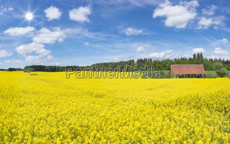 large flowering rape field at an
