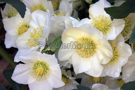 flowers of the snow rose helleborus