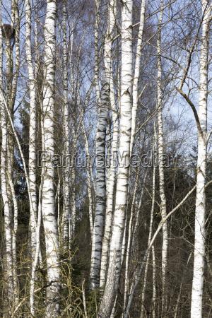 birches in the winter