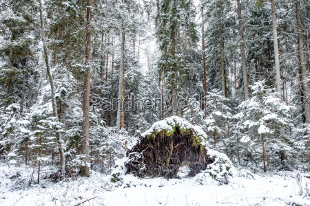pine forest in a winter day