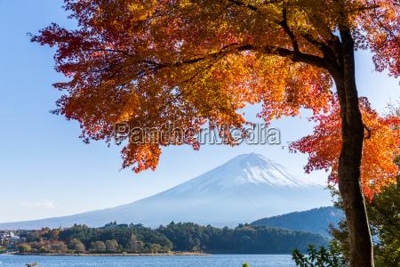maple tree and mount fuji
