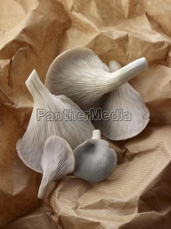 freshly picked grey oyster mushrooms on