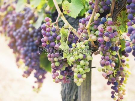 cabernet sauvignon grapes in a vineyard