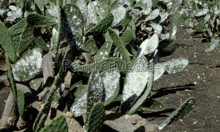 purple lice on the leaf cactus